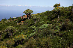 Arbres de sang de dragon sur la La Palma Photo stock