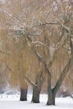 Arbres de saule en hiver images stock