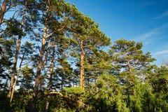 Arbres de sylvestris de pinus de pin écossais ou écossais s'élevant dans la forêt conifére à feuilles persistantes Photographie stock