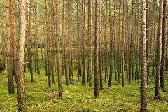 Arbres de sylvestris de pinus de pin écossais ou écossais s'élevant dans la jeune forêt conifére à feuilles persistantes Photos stock
