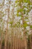 Arbres de teck dans une forêt agricole Photo libre de droits