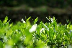 Arbres de thé vert de Longjin Image libre de droits