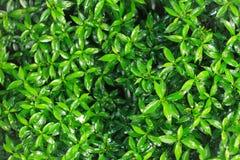 Arbres de thé vert de plan rapproché plantés dans le jardin photographie stock libre de droits