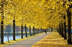 Arbres de tilleul jaunes par l'allée photo libre de droits