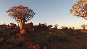 Arbres de tremblement au coucher du soleil - Namibie banque de vidéos