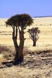 Arbres de tremblement - désert de Namib-Nuakluft - la Namibie Images stock