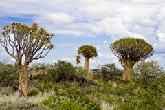 Arbres de tremblement en Namibie photo stock