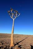 Arbres de tremblement en Namibie Images libres de droits