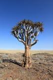 Arbres de tremblement en Namibie Image stock