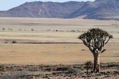 Arbres de tremblement en Namibie Photo libre de droits