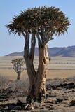 Arbres de tremblement en Namibie Image libre de droits