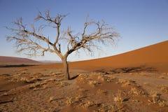 Arbres de Viewof près de la dune 45 dans le désert de Namib, Sossusvlei, N Photographie stock