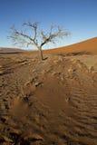 Arbres de Viewof près de la dune 45 dans le désert de Namib, Sossusvlei, N Image stock