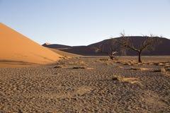 Arbres de Viewof près de la dune 45 dans le désert de Namib, Sossusvlei, N Photo libre de droits