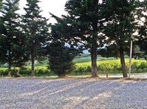 Arbres de vignoble de la Toscane Photographie stock libre de droits