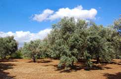 Arbres des olives sur la Chypre Photos stock