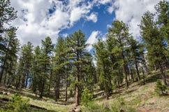Arbres du Colorado Rocky Mountain Photographie stock