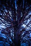 Arbres embranchés en parc, coucher du soleil, hiver Image libre de droits
