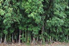 Arbres en bambou photos libres de droits