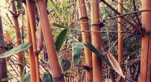 Arbres en bambou Photo stock