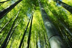 Arbres en bambou Images libres de droits