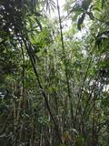 Arbres en bambou avec le ciel photos libres de droits
