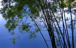 Arbres en bambou dans la plantation   Photographie stock libre de droits
