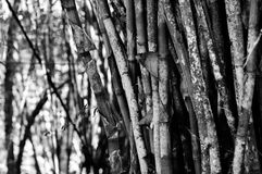 Arbres en bambou dans notre maison Photographie stock