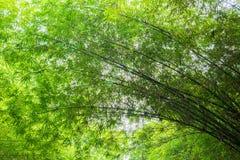 Arbres en bambou frais dans la forêt Photo stock