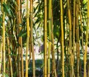 Arbres en bambou frais dans la forêt Image stock