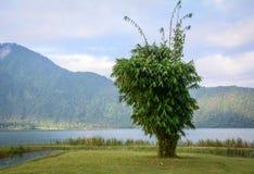 Arbres en bambou isolés Photos libres de droits