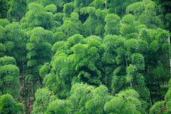 Arbres en bambou verts image libre de droits