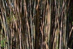 Arbres en bambou verts brun et troncs de la forêt en bambou Photos stock