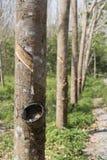 Arbres en bois de Para Photographie stock libre de droits