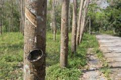 Arbres en bois de Para Photographie stock