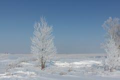 Arbres en gelée se tenant sur une neige pendant l'hiver Photographie stock libre de droits