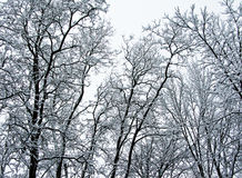 Arbres en hiver Photo stock