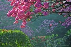 Arbres en pleine floraison avec les fleurs roses image libre de droits