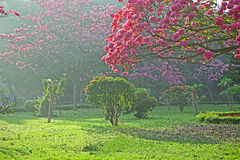 Arbres en pleine floraison avec les fleurs roses Photo libre de droits