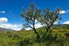 Arbres en vallée d'Urubamba, Pérou Photo stock