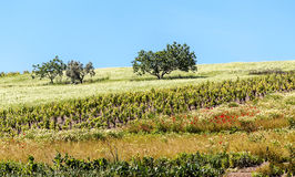 Arbres entourés par des vignobles Image libre de droits