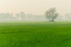 Arbres et brouillard de ferme de riz pendant le matin Image stock