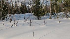 Arbres et buissons s'?levant dans la for?t couverte de neige vierge banque de vidéos