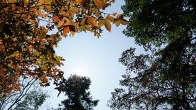 Arbres et ciel d'érable Images stock