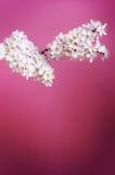 Arbres et fleurs de fleur Belle vue de nature de ressort sur un fond violet Concept d'arbres des saisons de ressort et d'été images libres de droits