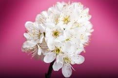 Arbres et fleurs de fleur Belle vue de nature de ressort sur un fond violet Concept d'arbres des saisons de ressort et d'été photographie stock libre de droits