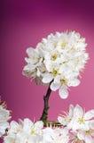 Arbres et fleurs de fleur Belle vue de nature de ressort sur un fond violet Concept d'arbres des saisons de ressort et d'été photo libre de droits