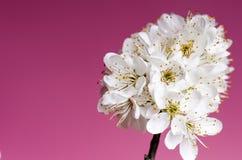 Arbres et fleurs de fleur Belle vue de nature de ressort sur un fond violet Concept d'arbres des saisons de ressort et d'été Photo stock
