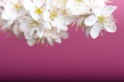 Arbres et fleurs de fleur Belle vue de nature de ressort sur un fond violet Concept d'arbres des saisons de ressort et d'été Photos libres de droits