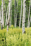 Arbres et Helleboro de tremblement Aspen Photo stock